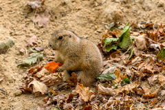 Prairie dog eating a carrot Royalty Free Stock Photography