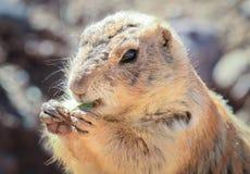 Prairie Dog Eating - Closeup Portrait Royalty Free Stock Photos