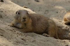 Prairie dog eating Royalty Free Stock Images
