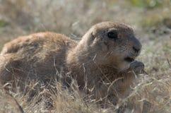 Prairie Dog eating. Cynomys chewing grass Oklahoma Wichita Mountain Wildlife Refuge Stock Photo
