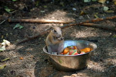 Prairie dog eating fruit Royalty Free Stock Photo