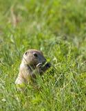 Prairie dog eating grass. Royalty Free Stock Photos