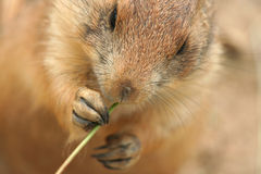 Prairie dog eating grass Stock Images