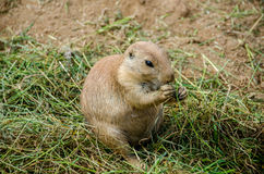 Prairie dog eating. In the grass Stock Images