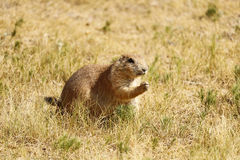 Prairie Dog eating grass Royalty Free Stock Images