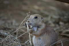 Prairie Dog eating grass Royalty Free Stock Photography