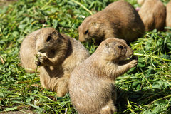 Prairie dog eating. Green grass standing upright stock photography