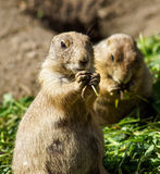 Prairie dog eating Royalty Free Stock Image