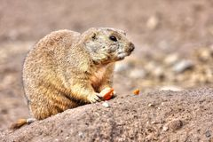 Prairie dog eating in High Dynamic Range hdr Royalty Free Stock Photography