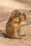 Prairie Dog eating a leaf Stock Images