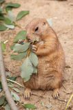 Prairie dog eating leaf Stock Image