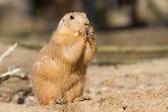 Prairie dog eating. A mature prairie dog eating Royalty Free Stock Image