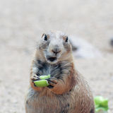 A Prairie Dog Eating a Piece of Celery Stock Images
