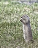 Prairie dog eating a potato chip Royalty Free Stock Photography