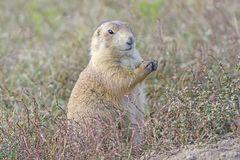 Prairie Dog Eating in the Prairie Royalty Free Stock Photography