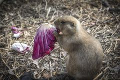 Prairie dog eating a salad 2. Black-tailed, white-tailed, Gunnison`s, Utah, and Mexican prairie dogs. herbivorous and rodents. Found in United States, Canada and royalty free stock image