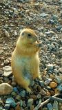 Prairie Dog eating Stock Photography