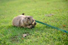 Prairie dog eating snack on grass Royalty Free Stock Photos