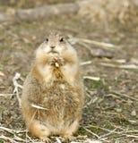 Prairie Dog. Eating some food Royalty Free Stock Photos