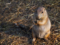 Prairie dog eating straw Royalty Free Stock Image