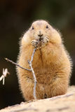 Prairie dog eating a twig Stock Photos