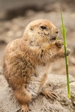 Prairie dog eating twig. Prairie dog in the wild eating twig Stock Photos