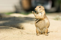 Prairie dog eating a twig. In zoo Emmen Royalty Free Stock Images