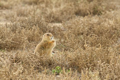Prairie Dog Eating Weed Stock Photography