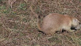Prairie dog eating stock video