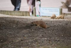 Prairie dog on the edge of the burrow. Prairie dog at the edge of his burrow watching before entering. Nice and funny rodent stock photos