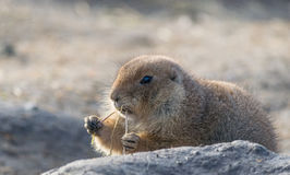 Prairie dog enjoying his/her meal Stock Photo