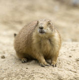 Prairie Dog with Eyes Closed Royalty Free Stock Photos