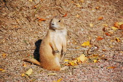 Prairie dog. With fallen leaves Royalty Free Stock Photography