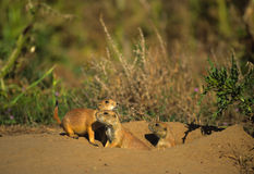 Prairie Dog Family Stock Photography