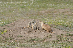 Prairie Dog Family Gathering. In Theodore Roosevelt National Park in North Dakota stock photo