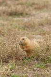 Prairie Dog Feeding Royalty Free Stock Photo