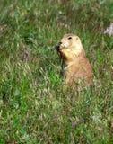 Prairie dog feeds on grass. Stock Image