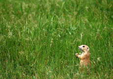 Prairie Dog in Field Royalty Free Stock Photo