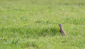 Prairie dog on field Stock Images