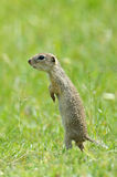 Prairie dog on field in summer Stock Photo