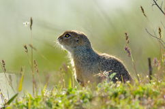 Prairie dog on field in summer Royalty Free Stock Image