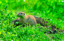 Prairie dog on field in summer eating Stock Image