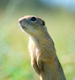 Prairie dog on field in summer Stock Images