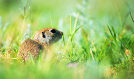 Prairie dog on field in summer Stock Image