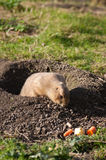 Prairie dog finding food. Little prairie dog coming out of the ground finding some food Royalty Free Stock Photo