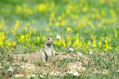 Prairie Dog Flowers Stock Images