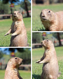 Prairie dog. Four images set royalty free stock photo