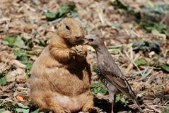 Prairie dog and friend Stock Photography