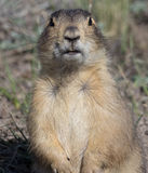 Prairie Dog Full Frontal. A close up of a prairie dog staring directly into the camera in Valles Caldera National Preserve, New Mexico Royalty Free Stock Photo