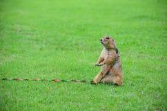 Prairie Dog Royalty Free Stock Images